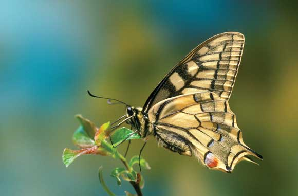 Swallowtail butterfly macro image